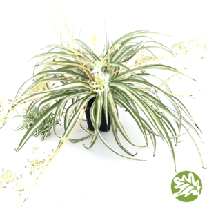 "CHLOROPHYTUM Milky Way 4"" #1330"